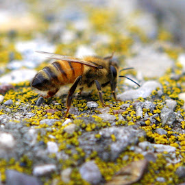 Bee on a ledge by Melissa Parrish - Novices Only Wildlife ( macro, nature, bee, wings, insect,  )