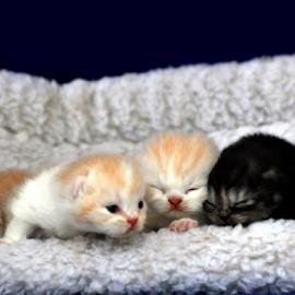 by Cacang Effendi - Animals - Cats Kittens ( cats, cattery, kitten, animals, chandra )