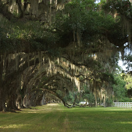 Tree lined Drive by Susan Fries - Landscapes Forests ( fence, trees, landscape, shadows, spanish moss,  )