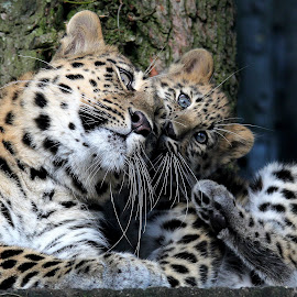 Mum & Cub by Ralph Harvey - Animals Lions, Tigers & Big Cats ( zoo, marwell, wildlife, ralph harvey, cub, leopard, animal )