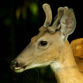 Young Male Deer by Peggy LaFlesh - Animals Other Mammals ( buck, hunting, young, deer )