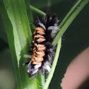 Milkweed Tussock Moth Larvae