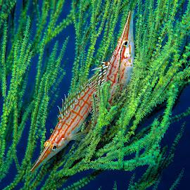 I'm not talking to you!!! by Stuart Skene - Animals Sea Creatures ( marine, hawkfish, macro, underwater, dive, scuba )