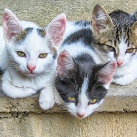 Three kittens by Maja  Marjanovic - Animals - Cats Kittens ( cats, animals, pet, kittens, kitty )