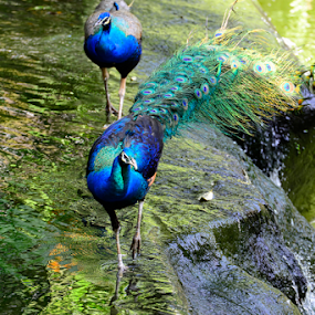 Peacocks crossing a Stream by Nur Ismail Mohammed - Animals Birds ( aviary, drinking, pond, peacock, bird park )
