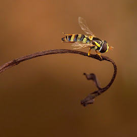 Just Hover by Andy Paid - Animals Insects & Spiders