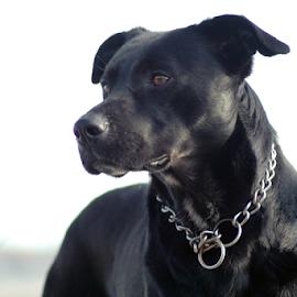 Black by Antonio Amen - Animals - Dogs Portraits ( dog )