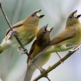 Scaly breasted munia by Sankaran Balaji - Animals Birds ( animals, nature, scaly breasted munia, juvenile, birds )