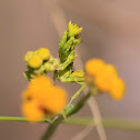 Flower mantid
