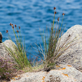 Between rocks by Cesare Morganti - Nature Up Close Other plants ( blue, nature up close, sea, rocks, granite )