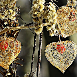 Frozen Morning by Marija Jilek - Nature Up Close Other plants ( nature, 2014, frozen morning, lace lantern, plants, physalis alkekengi, december  31 )