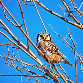 Northern Hawk owl by Jaliya Rasaputra - Animals Birds