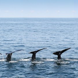 The five humpback fluke by Andy Boyce - Animals Sea Creatures ( boston, sea, ocean, whale, tail, usa )