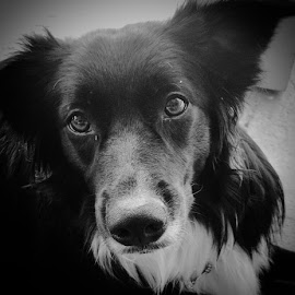 My sisters EVIE,  by Jeanette Geary - Animals - Dogs Portraits