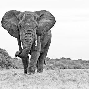 Bull Elephant on the Plains by Michael Price - Black & White Animals ( endangered species, river bend lodge, elephant, michaelpricephotos, elephant behaviour )
