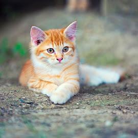 Hello Kitty by Dokter Ajai - Animals - Cats Kittens ( cats, animal portrait, cat, kitten, amimal )