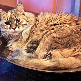 Kitty in a bowl by Sandy Scott - Animals - Cats Portraits ( animals, cat, cat in a bowl, pets, rescued cats, domestic cat,  )