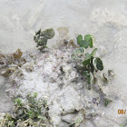 Cactus Alga