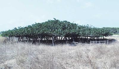 Higuera apuntalada de Formentera