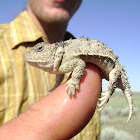Eastern Short-Horned Lizard