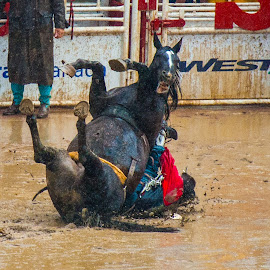 Sorry about this by Mike O'Connor - Animals Horses ( muddy, cowboy, horses, backwards, fall, rodeo, bronc, injury,  )