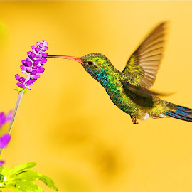 Flying Neon by Dean Mayo - Animals Birds ( bird, real, nature, colorful, neon, hummingbird, spring, broadbill, flower )