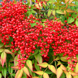 Red Berries by Mina Thompson - Nature Up Close Trees & Bushes ( oregon, winter, red berries, nature, bush )
