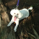 white mini-poodle