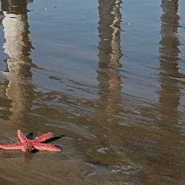 Seastar by Jeannine Jones - Animals Sea Creatures (  )