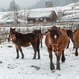 Winter is Coming! by Mihaela Jurca - Animals Horses ( bucolic, winter, horses, bucovina )