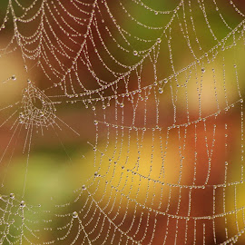 Spider web waterdrops  by Paul Wyman - Nature Up Close Webs ( water, macro, nature, drops, web, spider )