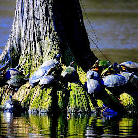 The Gangs all here by Charles Toshach Jr - Animals Amphibians ( turtles on cypress, cypress swamp, turtles, the gangs all here, group of   turtles,  )