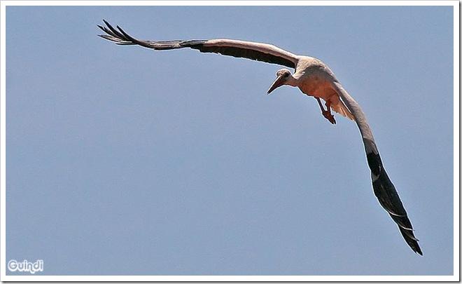 Cigüeña-comun-4