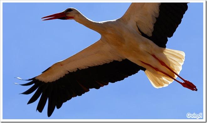 Cigüeña-comun-6