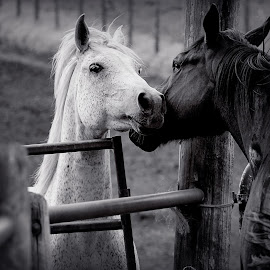 everyone needs a nuzzle by Chrysta Rae - Animals Horses ( black and white horse, animals, nuzzle, horses, horse, animal )
