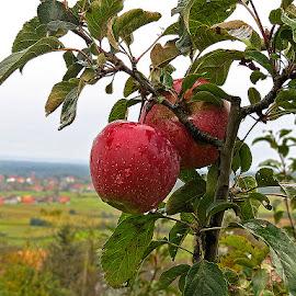 Eko jabuka, by Katica Pecigoš-Kljuković - Food & Drink Fruits & Vegetables ( poslije kiše, breg )