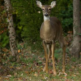 Dad's Deer by Jim Westcott - Animals Other ( forrest animals, wildlife, deer )