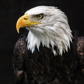 Wotan by Garry Chisholm - Animals Birds ( bird, garry chisholm, eagle, nature, wildlife, prey, raptor, bald )