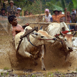 Action the joky cow race by Boby Hermawan - Sports & Fitness Other Sports