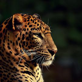 leopard  by Narendra Prashanth Ramsundar - Animals Lions, Tigers & Big Cats ( big cat, cat, indian, leopard, animal,  )