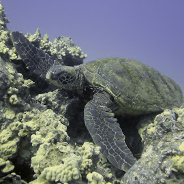 Turtle Sleeping 1 by Glenda Koehler - Novices Only Wildlife