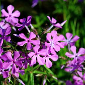 Purple Flowers by Jamie Hodge - Flowers Flowers in the Wild ( field, purple, side of road, flowers )