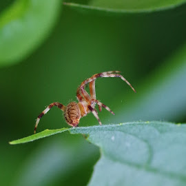Spider Rampant by Buddy Boyd - Animals Other ( macro, macrophotography, hdr, insec, web, spider, insect )