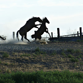 Fight for atention by Gaylord Mink - Animals Horses ( fence, horses, fight, horse fight, three horses,  )