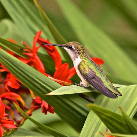 Ruby Throated Hummingbird by Kimberly Davidson - Animals Birds ( crocosomia lucifer, small birds, ruby throated hummingbirds, hummers, crocosomia, hummingbirds,  )