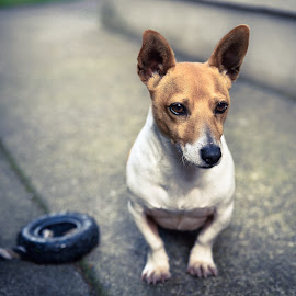 Buddy by Jamie Ryan - Animals - Dogs Portraits ( russel, jack, pet, nikon d810, jack-russell, dog, russell )