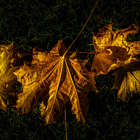 Autumn Fire by Nigel Bullers - Nature Up Close Leaves & Grasses ( nature, color, nature up close, leaf, leaves )