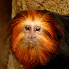 Golden lion tamarin by Nancy Tharp - Animals Other Mammals