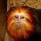 Golden lion tamarin 7-20-2014 2-18-36 AM 1295x1511.JPG