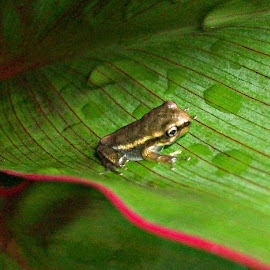 Baby Frog 2 by Cindy Brown - Animals Amphibians (  )